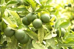 Cales verdes frescas en el árbol imágenes de archivo libres de regalías