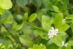 Cales verdes que cuelgan en un árbol en los descensos del jardín y del agua después de lluvia Imagenes de archivo