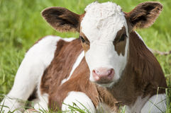 Calf Royalty Free Stock Photo