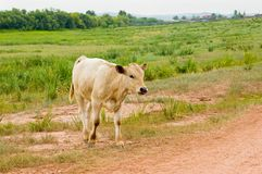 The calf. Against a landscape approaches to road stock images