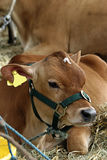 Calf. At an agricultural show Royalty Free Stock Photos