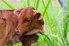 Calf Stock Photo