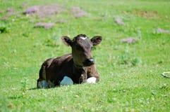 Calf Stock Photography