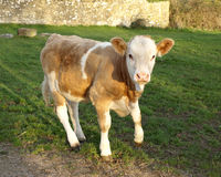 Calf. In a Green Field Stock Image