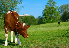 The Calf. stock image