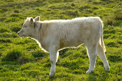 Calf. Cream-colored calf standing backlit on a green pasture. With space for copy royalty free stock images