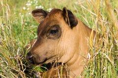 Calf  Royalty Free Stock Photos