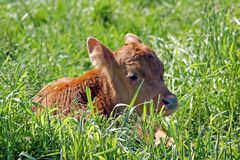 Calf Royalty Free Stock Photography