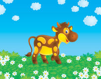 Calf. Spotty calf grazes in a field with chamomiles Stock Photo