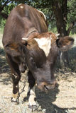 Calf. Cattle in the pasture. Calf Stock Photo
