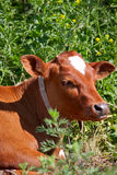 Calf. Close up of calf's head against green  grass Stock Images