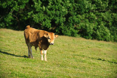 Calf. A calf grazing on a green meadow Royalty Free Stock Images