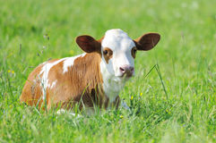 Calf. Resting on the green pastures Stock Image