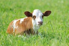 Free Calf Stock Image - 25111441
