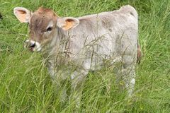 Calf. With veterinarian label in the country Stock Image