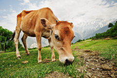 Calf stock images