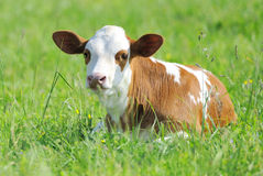 Calf. Young beautiful calf in field royalty free stock image