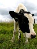 Calf. In a field Stock Photo