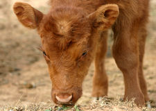 Calf. Red furry beef calf, angus or shorthorn, sniffing at blades of green grass in dry winter pasture Stock Photo