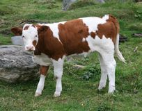 Calf. A small calf in the fields Royalty Free Stock Photo