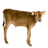 Calf (45 days) Royalty Free Stock Photos