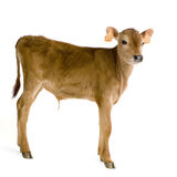 Calf (45 days) Stock Photos