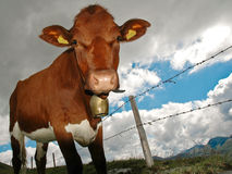 Calf. Close-up of calf with cow bell. Saalbach, Austria royalty free stock photography
