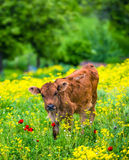 Calf Royalty Free Stock Photos