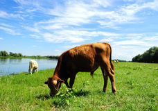 Calf. Pasturing near the lake Royalty Free Stock Images