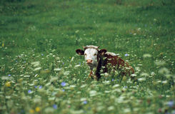 Calf. On the meadow Stock Photography