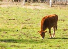Calf. Small Calf royalty free stock photos