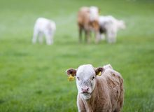 Calf Stock Photos