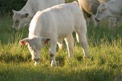 Calf. White calf Stock Images