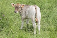 Calf. On the grass Royalty Free Stock Photography