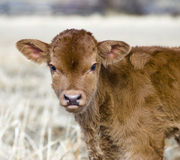 Calf. One day old young calf on the meadow Stock Photo