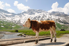 Calf in the Alps Royalty Free Stock Photography