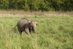 Calf of Asiatic  elephant Royalty Free Stock Photo