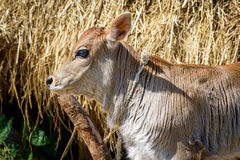 Calf attached to a pole Stock Photography