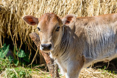 Calf attached to a pole Royalty Free Stock Images