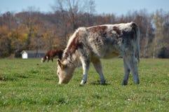 Calf grazing in field Stock Photo