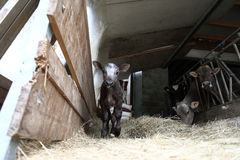Calf in the barn with hay Royalty Free Stock Images