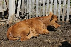 Calf basking in the sun. Red calf basking in the sun Royalty Free Stock Images