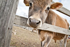 Calf Behind Fence Royalty Free Stock Images