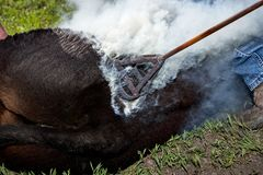 Calf being branded with a branding iron. Calf being branded with a red hot branding iron in a cloud of smoke to mark it for identification in the field stock images