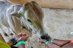 A calf being fed by two pairs of kids` hands. The baby cow seems to be enjoying the meal. One kid is actually feeding while anoth royalty free stock photo