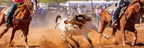 Australian Team Calf Roping Rodeo Event. Calf being lassoed in a team calf roping event by cowboys at a country rodeo royalty free stock photography