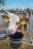 Calf in a box Stock Image