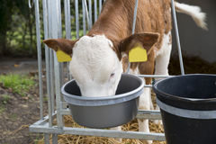 Calf in a box Stock Photography