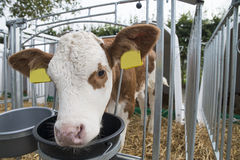 Calf in a box Royalty Free Stock Images