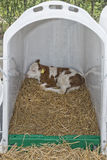 Calf in a box Royalty Free Stock Photography